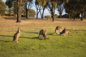 Kangaroo attraction south Australia